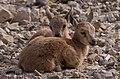 Juvenile Nubian ibex (50818).jpg
