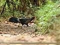 Kalij Pheasant (Lophura leucomelanos) (45679487285).jpg