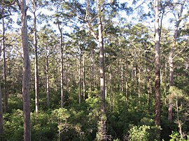 Karri forest 3 Warren NP XII-2015.jpeg