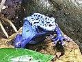 Ke - Dendrobates tinctorius azureus - 7.jpg
