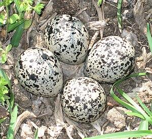 Killdeer - Eggs in a nest on the ground
