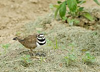 Killdeer on nest (Charadrius vociferus).jpg