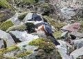 Kingfisher on the rocks (4249672585).jpg