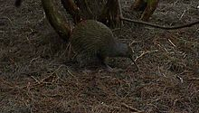 File:Kiwi feeding mason bay nz.ogv