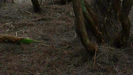 File:Kiwi feeding mason bay nz.ogv