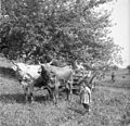 Kožarjeva živina, Staro Apno 1964.jpg