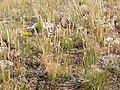Koeleria macrantha (3811030493).jpg