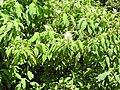 Koenigia polystachya-3-badulla road-nuwara eliya-Sri Lanka.jpg