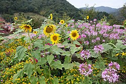 A flower field in the Herb Island in Pocheon