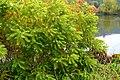 Korina 2010-10-12 Amorpha fruticosa.jpg