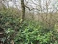 Korina 2013-03-18 Mahonia aquifolium 9.jpg