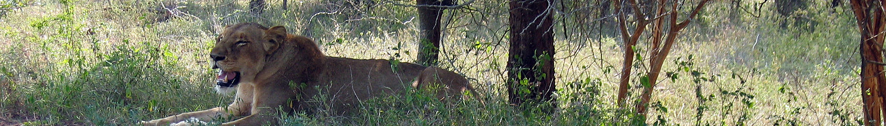 Kruger National Park banner Lion resting under a tree.jpg