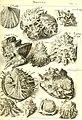L'histoire naturelle éclaircie dans deux de ses parties principales, la lithologie et la conchyliologie - dont l'une traite des pierres et l'autre des coquillages - ouvrage dans lequel on trouve une (14778691901).jpg