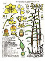 LR017 72dpi Dendrobium agrostophyllum.jpg