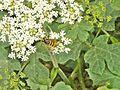 La Storaia-vespa su fiore 2.jpg