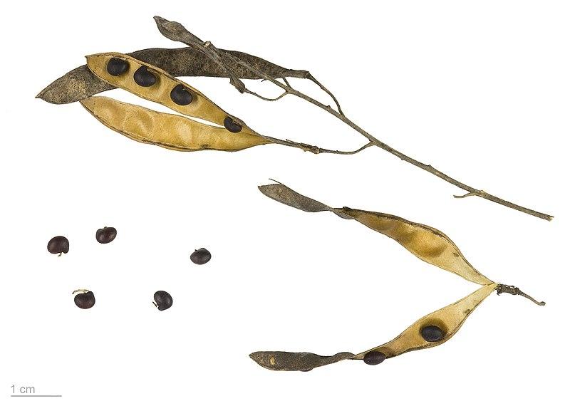 Semillas de Laburnum