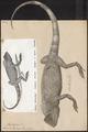 Lacerta tigrina - 1700-1880 - Print - Iconographia Zoologica - Special Collections University of Amsterdam - UBA01 IZ12700041.tif