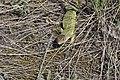 Lacerta viridis, Srbija (29).jpg