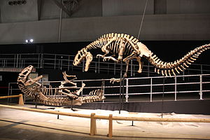 Yutyrannus - Restored skeletons mounted in fighting poses