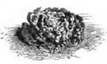 Laitue earliest dwarf green Vilmorin-Andrieux 1883.png