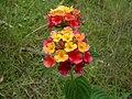 Lantana camara flowerhead NC5.jpg