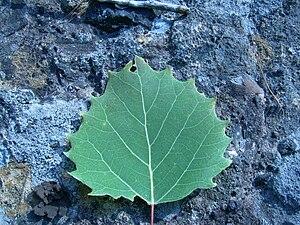 Aspen - Image: Large toothed aspen leaf (Grasett Twp)