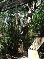 Large Strangler Fig Next to Ruins - panoramio.jpg