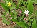 Lasy Golejowskie herbaceous layer 01.jpg