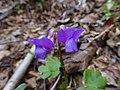 Lathyrus vernus, flowers.jpg