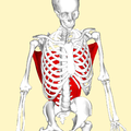 Latissimus dorsi muscle above.png