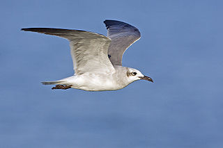 Laughing gull Species of bird