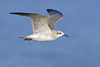 Laughing gull - Laughing gull in flight