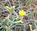 Launaea arborescens kz2.JPG