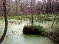 Leśny staw - panoramio (9).jpg