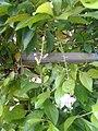 Leaves and trees palavangudi jpg 24.jpg