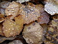 Leaves in the forest after the rain2.JPG