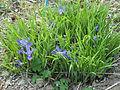 Leeves of Iris rossii Baker in Kuboizumi Saga.JPG