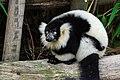 Lemur (25082170417).jpg