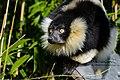 Lemur (26726495828).jpg