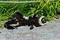 Lemur (36499887253).jpg