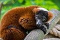 Lemur (36614930035).jpg