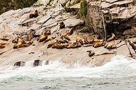 Leones marinos de Steller (Eumetopias jubatus), Bahía de la Resurección, Seward, Alaska, Estados Unidos, 2017-08-21, DD 23.jpg