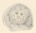 Leontopithecus rosalia - kop - - Print - Iconographia Zoologica - Special Collections University of Amsterdam - UBA01 IZA1000469.tif