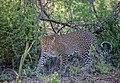 Leopard, Tsavo West.JPG