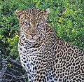Leopard, Tsavo West National Park, Kenya.JPG