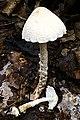 Lepiota clypeolaria 171115w.JPG