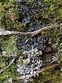 Leptogium cyanescens and Nephroma laevigatum 413712.jpg