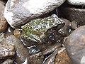 Lesueur's Tree Frog (Litoria lesueuri).jpg