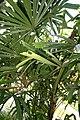 Licuala spinosa 10zz.jpg