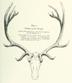 Life Histories of Northern Mammals (1909) Fifteen point Cervus canadensis.png